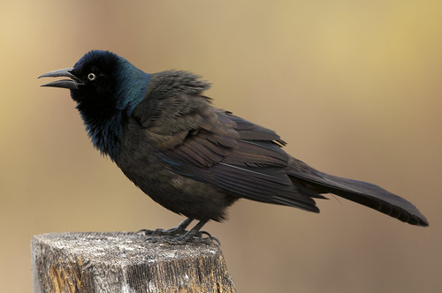 common grackle male. hair Male Common Grackle