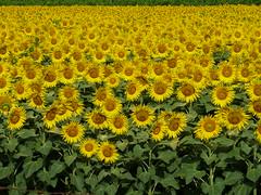 P1000001 (gzammarchi) Tags: italia natura campagna girasole paesaggio pianura imolabo coltura