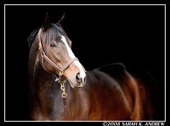 Celtic Charisma (a.k.a Moose) (Rock and Racehorses) Tags: portrait horse rip nj moose top20horsepix thoroughbred cubism galope mywinners mywinner rip2010