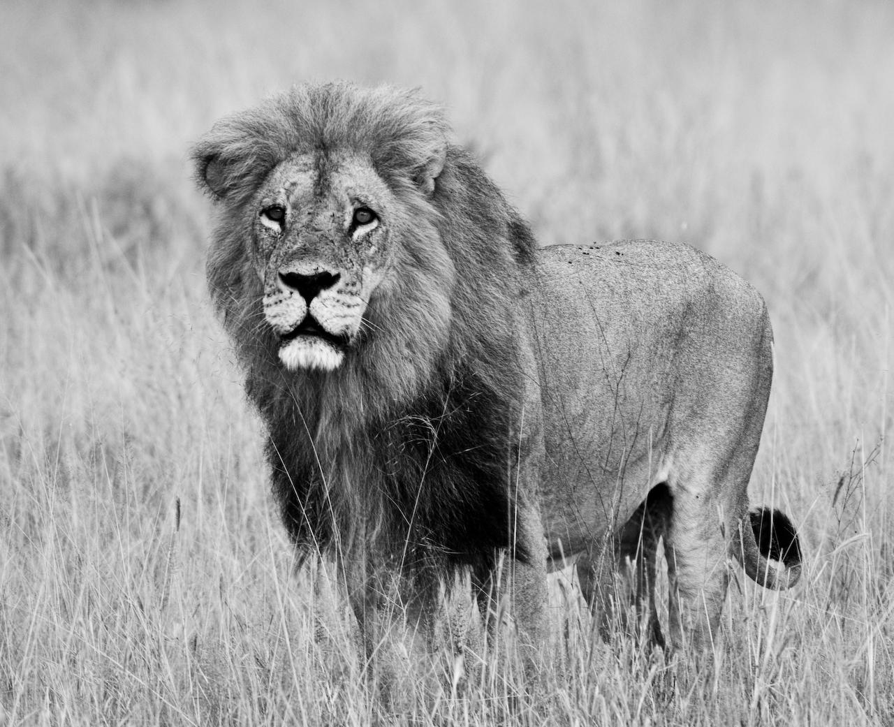 B&W Lion