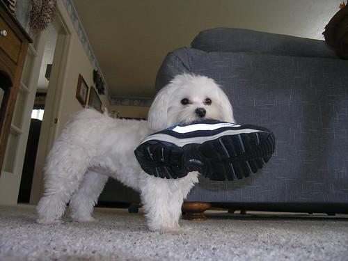 Resultado de imagen para maltese shoes