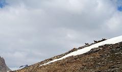 Isards sobre la neu (Cyberian8) Tags: mountain france alps animal fauna alpes canon 350d provence montaa animaux diere francia mont muntanya  tier  cabras provenza djur  hayvan desanimaux  hewan haiwan reinoanimal  ivotinja  alpesdehauteprovenza