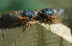 One cicada to another: Hey there, sexy
