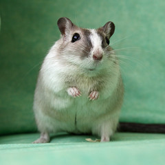 GERBIL ((^-^) SUE (^-^)) Tags: cute gerbil rodent