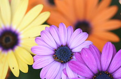 A Rainbow of colors............ (vzonabaxter) Tags: flowers orange macro yellow canon purple violet blooms africandaisy osteopremum