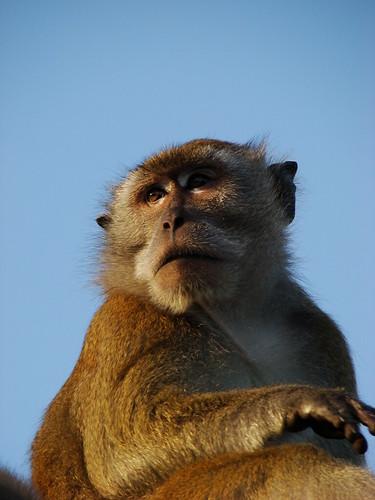 Monkey staring somewhere...