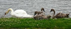 Growing Family (enchantedbirdsandhorses) Tags: flowers white bird water swan cardiff swans clover cygnets llanerch tremorfa