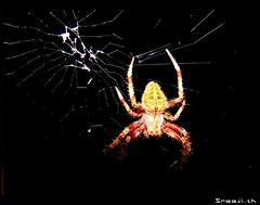 Spider (sreeji..) Tags: net photography spider photo photos sony kerala dsc h7 sreejith kannur flickrsbest taliparamba inapp wwwsreejicom thaliparamba  sreejinet  kenoth