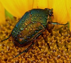 Green June Beetle (mrtickles) Tags: green june beetle mo missouri dew sunflower summit droplet lees insectsandspiders jamesareed mdc75