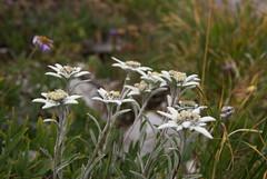 Edelweiss (JR Guillaumin) Tags: flower fleur plantae asteraceae edelweiss leontopodiumalpinum asteridae magnoliophyta magnoliopsida asterales leontopodium tracheobionta pentaxk10d pieddelion étoiledargent smcpda1650mmf28edalifsdm