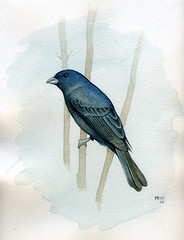 Commissioned male indigo bunting watercolor (redmeg8) Tags: color male bird nature illustration watercolor painting anniversary feathers commission avian indigobunting biologicalillustration girlillustrators