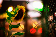 sunflower of the evening #2 (moaan) Tags: life leica light flower color digital fence 50mm evening dof bokeh live vivid f10 nightlight sunflower m8 noctilux alive 2008 hue eventide explored throughthefence inlife leicam8 goldenbokeh leicanoctilux50mmf10 bokehwhores gettyimagesjapanq1 gettyimagesjapanq2