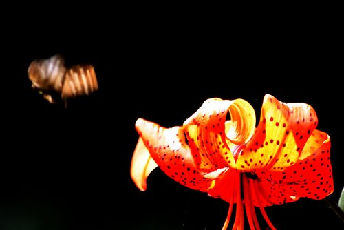 Lily and Butterfly  in Flight