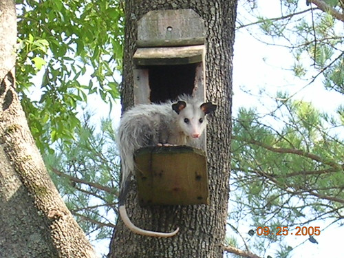 Possum in a Birdhouse