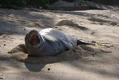Monk Seal (Augustinian) Tags: hawaii oahu seal monkseal