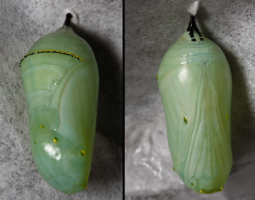 Monarch (Danaus plexippus)Chrysalis 2