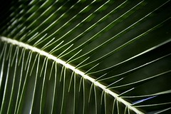 senegal date palm (*omnia*) Tags: macro green lines leaf australia palm datepalm linear coffsharbour pc2450 senegaldatepalm
