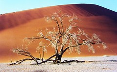 Namibia, Baumskelett vor Dune 45,   2-29 v (roba66) Tags: trees tree sand dune namibia bume baum ih dnen theunforgettablepictures colourartaward thesecretlifeoftrees worldtrekker 100commentgroup 100commentsgroup saariysqualitypictures greatshotss dragonsdanger atomicaward mbpictures naturalezaenestadopuro flickrunitedaward roba66