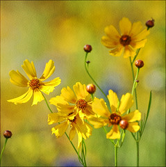 Yellow flowers (CGoulao) Tags: flower color colour texture textura nature fleur yellow catchycolors garden season searchthebest natureza flor amarelo jardim botanic  blume fiore cor estao bloem  botnica   abigfave colorphotoaward aplusphoto ysplix theunforgettablepictures colourartaward goldstaraward flickrstruereflection1 flickrstruereflection2 flickrstruereflection3