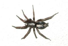parson spider (Herpyllus ecclesiasticus) (corvid01) Tags: spider parsonspider