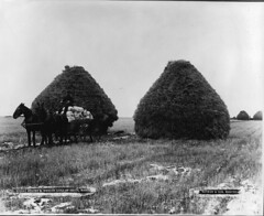Wheat stacks and wagon load of grain, Portage La Prairie, MB, 1887 (Muse McCord Museum) Tags: horse canada work cheval farm wheat grain cereal champs archive manitoba travail worker farmer prairie agriculture mb stacks bl paysan 1887 portagelaprairie mccordmuseum travailleur crales xixe wheatstacks wagonload musemccord commons:event=commonground2009