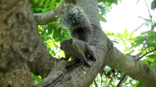 Taiwan squirrel