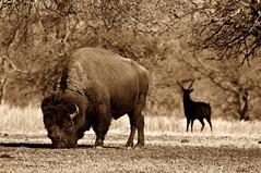 Big Wooly and His Guardian (mbryan777) Tags: oklahoma buffalo nikon wildlife deer bison tamron preserve d300 woolaroc 200500mm platinumphoto impressedbeauty ysplix mbryan777 michaelbryanphotography