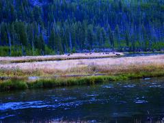 Grazing Elk 3 (stan25) Tags: nationalpark yellowstone yellowstonepark