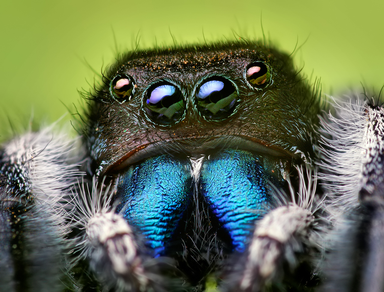 Spider close-up: Phidippus audax Jumping Spider