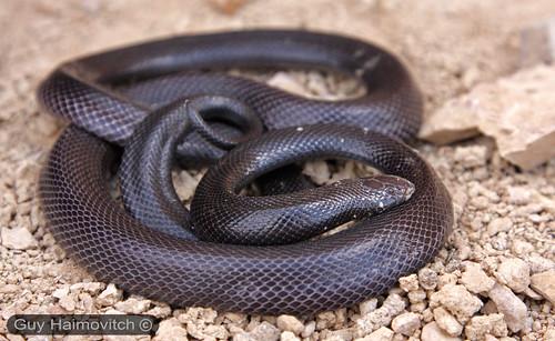 Шпильковые змеи