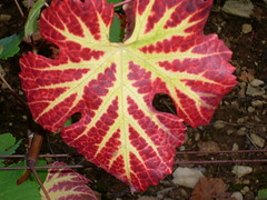 Couleur Automnale (Karen 21) Tags: red brown color green nature leaves yellow jaune automne plante rouge leaf vineyard wine burgundy vert vein vin marron cpage vigne raisin couleur brun vegetal vins verte feuille chardonnay pinotnoir cep vgtation feuilledevigne bourgundy nervure teinte feuillesdevigne bourgognepinotnoir bourgognechardonnay couleurdautomne changementdecouleur hautesctesdenuits