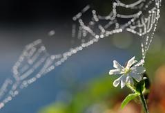 morning dew (donjiva(away)) Tags: whiteflower washington waterdroplets morningdew skagitriver highway20 northcascade nikkor105mmf28gvrmicro nikon105mmvrmacro spiderwebbokeh nikond40xd40