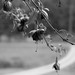 Hummingbirds-5053-grayscale