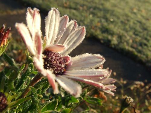 Daisy frost