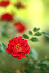 A rose from a Secret Garden ... (My 96th Explore) (_nejire_) Tags: uk red england plant flower macro green london nature rose yellow canon wednesday eos flora kiss bokeh secret explore tuesday tamron 90mm secretgarden creamy 15faves naturesfinest creamyyellow fave20 10faves 20faves hbw tamronspaf90mmf28dimacro11 nejire 400d tamronspaf90mmf28dimacro abigfave eos400d fave15 kissx fave10 1050am bokehwednesday mhashi 8620454g8am1 9121454g8am 6517384g1130pm