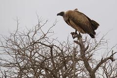Best_of_South_Africa_062 (nodeworx) Tags: africa park bird nature animal southafrica nikon wildlife south safari vulture creature 2008 krugernationalpark krugerpark kruger limpopo whitebacked gypsafricanus d80