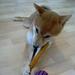 柴犬:Shiba Inu Hiro 浩 ? Video 7