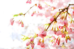 sweet cherry wind (blue wind*) Tags: pink catchycolors cherry spring dof platinumheartaward