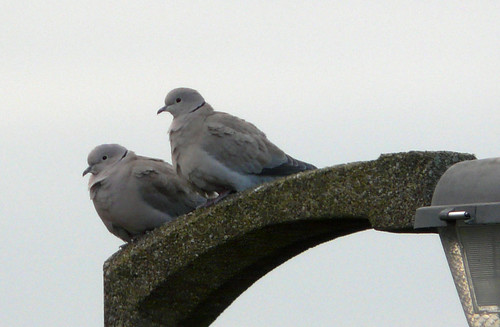 Collared doves05Nov08