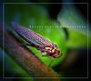 cicadella (Karina Diarte de Maidana) Tags: macro bug insect paraguay cicadella karinadiarte
