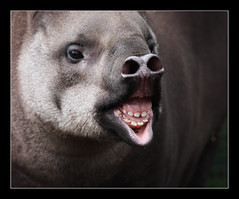 pucker up (felt_tip_felon) Tags: teeth gums ugly bristles tapir nostrils