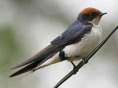 Wire-tailed Swallow, Mulanje (Malawi), 29-Sep-08 (Dave Appleton) Tags: bird birds malawi swallow mulanje hirundo hirundine passerine wiretailedswallow smithii hirundosmithii wiretailed lujeri