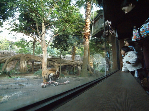 tiger through the glass