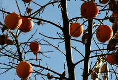 IMG_8113.JPG (tamara_harte) Tags: italien italy fruit italia italie kaki conegliano diospyroskaki sharonfruit