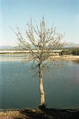 Lonely Tree (Alvaro's Pix) Tags: madrid camera wood sun lake mountains color film spain bright dam sunny olympus clear scanned 135 omg carrete oly om20 kodakportra160nc valmayor 135film epsonv700 tamronadaptall2sp3580mmf2838