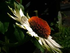 1yellow-echinacea-2008 (fancee1960) Tags: flowers summer orange flower green yellow garden petals colorful dynamic vivid coneflower brilliant fascinating exuberant echinecea evocative yellowconeflower