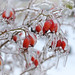 Rose hips ... today :)
