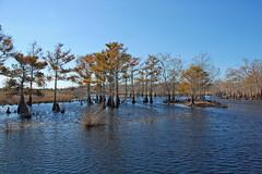 Cypress (wilsonti) Tags: christmas saint river florida swamp cypress johns airboat