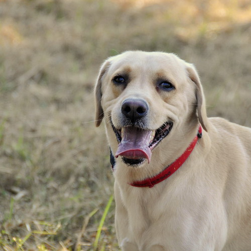 Labrador #2