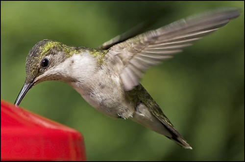 Hummingbird with Canon 55-250 IS